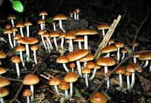 magic mushrooms image