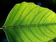 220px Leaf 1 web