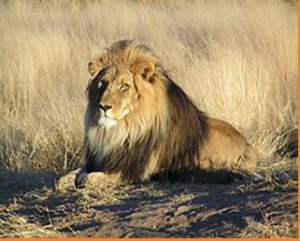 African Lion 300x241