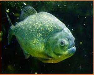 Piranha Fish 300x242