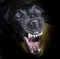 7171599709 2f2fe09623 m angry dog